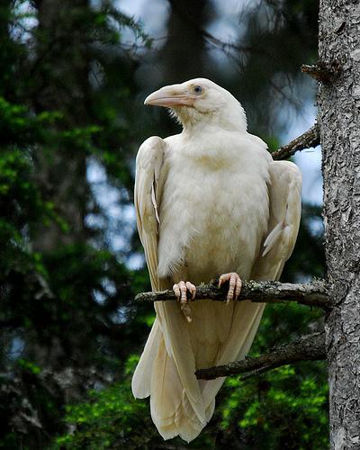 White_Raven_tree