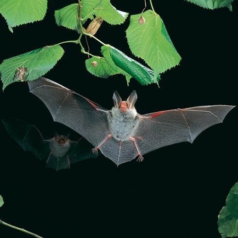 Murciélago de Bechstein (Myotis bechsteinii)   Wikimedia Commons