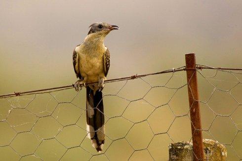 Imagen de un críalo en Extremadura. Crédito: Fveronesi1 (Flickr, Creative Commons)