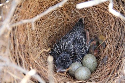 Pollo de críalo en un nido junto a un pollo de urraca recién eclosionado y muerto. Imagen: Juan Soler